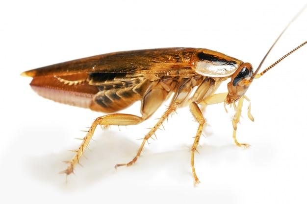 Macro viva di scarafaggio incinta rossa isolata su bianco con le ombre