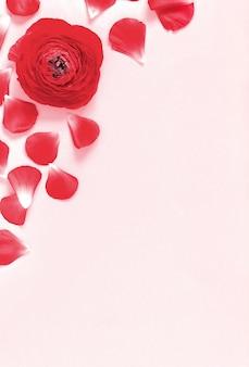 Ranuncolo rosso fiori e petali su una vista dall'alto di sfondo rosa chiaro
