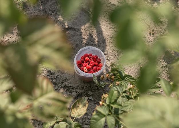Lampone rosso raccolto in un contenitore tra le foglie sfocate dell'agricoltura biologica del cespuglio di bacche