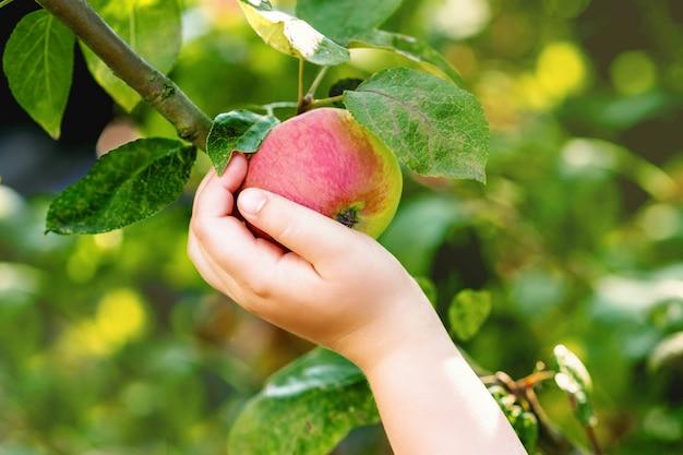 Mela matura rossa su un ramo di melo e la mano del bambino che la tocca nel giardino. raccolta delle mele.