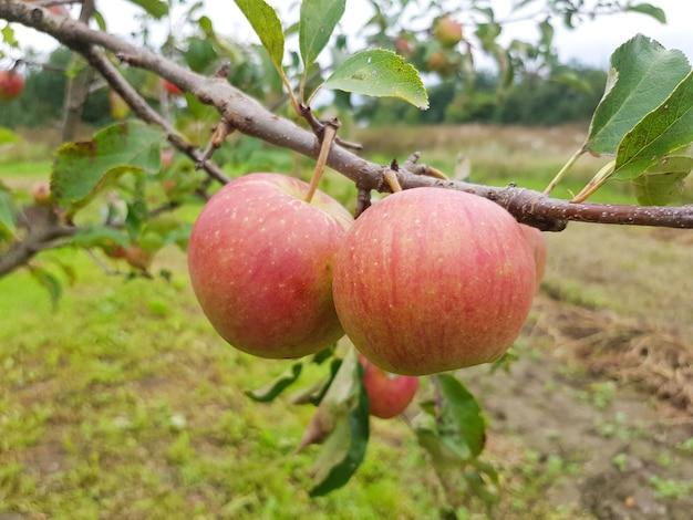 Le mele mature rosse appendono su un ramo nel giardino