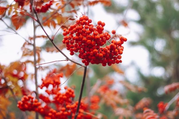 Mazzo rosso maturo di sorbo con foglie di sorbo verde primo piano