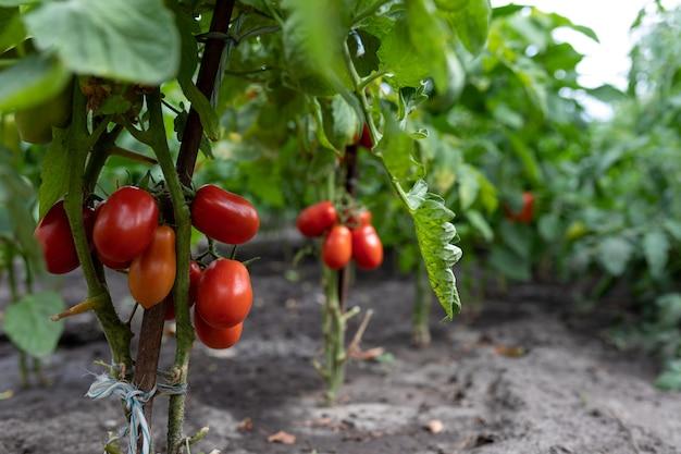 Pomodori maturi rossi coltivati in serra. coltivazione di ortaggi biologici in azienda. messa a fuoco selettiva. copia spazio.