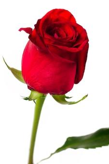 Rosa rossa close up isolato sfondo bianco