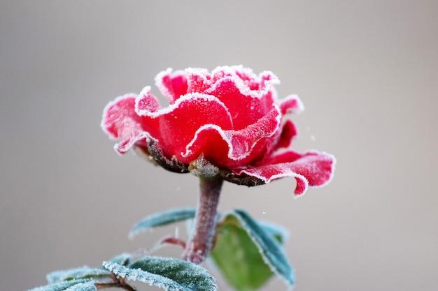 Rosa rossa ricoperta di brina con uno sfondo sfocato. le prime gelate