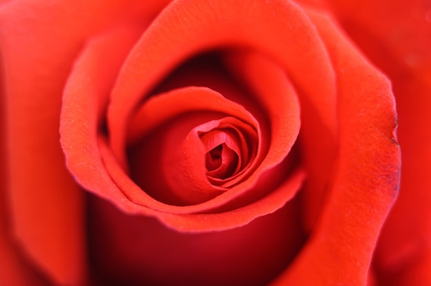 Fiore della rosa rossa in piena fioritura. petali di rosa si chiudono