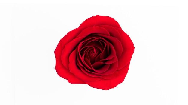 Fiore della rosa rossa isolato su una superficie bianca