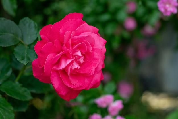 Rosa rossa nel giardino sul cespuglio con uno sfondo scuro