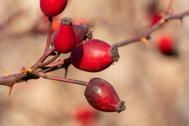 Cinorrodi rossi della rosa canina. rosa canina, comunemente conosciuta come la rosa canina. natura