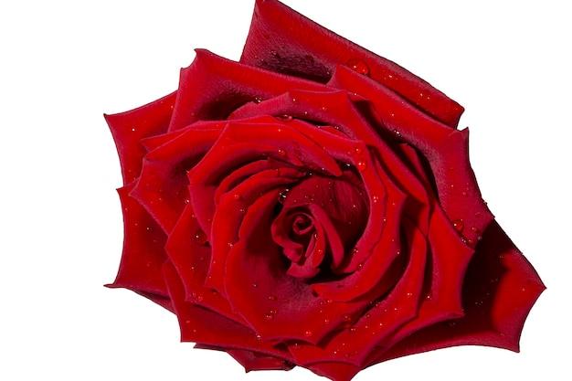 Rosa rossa isolata sulla macro bianca del fondo