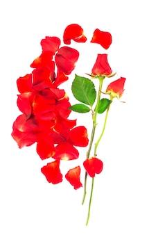 Petali di rosa rossi isolati sopra i precedenti bianchi.