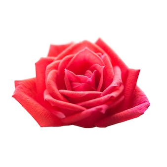 Fiore romantico della rosa rossa isolato su priorità bassa bianca. colpo a macroistruzione del primo piano