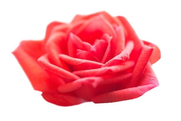 Rosa rossa, fiore romantico isolato su sfondo bianco. colpo a macroistruzione del primo piano