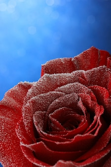 Rosa rossa nella neve su sfondo blu
