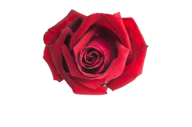 Rosa rossa su sfondo bianco.