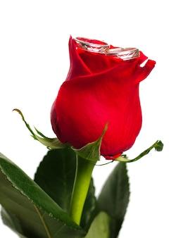 Rosa rossa con anelli d'argento isolati su sfondo bianco. cartolina di matrimonio.