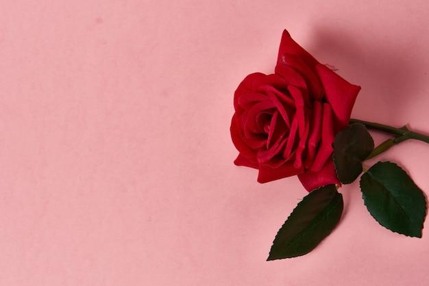 Rosa rossa con spine sulla parete rosa