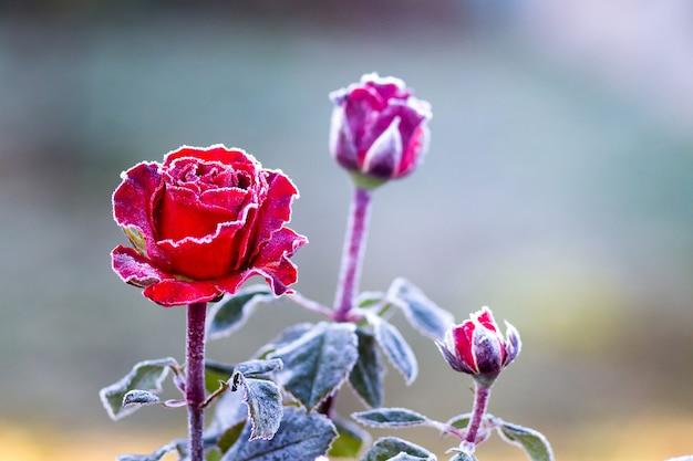 Le rose rosse sono coperte di brina bianca su uno sfocato