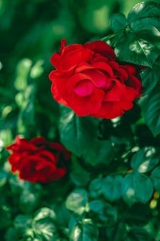 Rose rosse in un bellissimo giardino fiorito come sfondo floreale