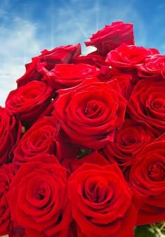 Rose rosse isolate su superficie bianca