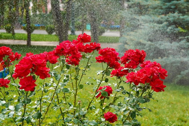 Rose rosse in spruzzi d'acqua
