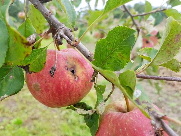 Le mele marce rosse sono appese a un ramo in giardino una mela mangiata dai parassiti è appesa a un albero