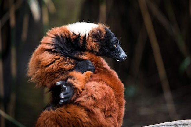 Rosso lemure ruffed animale vista ravvicinata