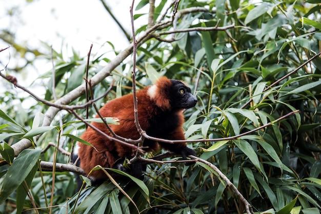 Animale di lemure ruffed rosso che si siede sull'albero