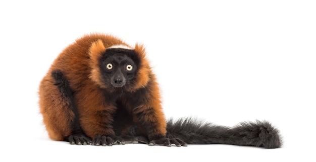 Lemure ruffed rosso che esamina la macchina fotografica, isolata su bianco