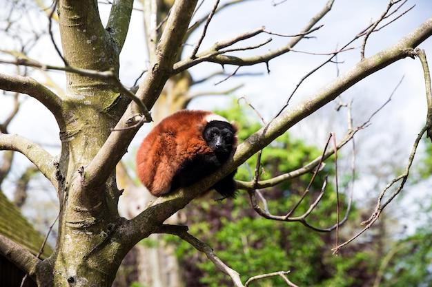 Lemure ruffed rosso che si siede nell'albero