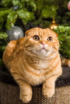Il gatto rosso scottish fold rosso è seduto vicino all'albero di natale