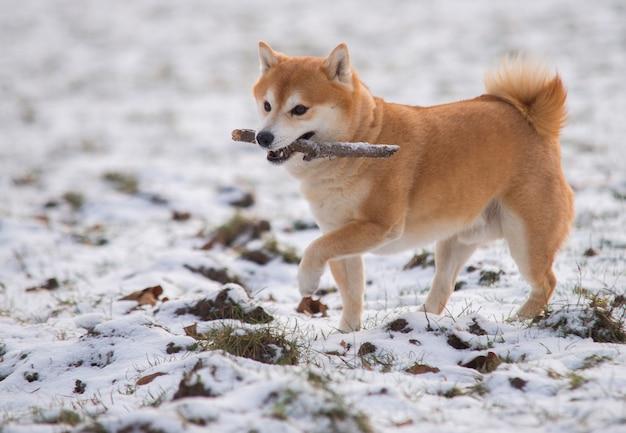 Cane rosso di shiba inu sulla neve