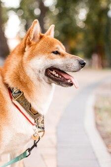 Red shiba inu cucciolo di cane in piedi all'aperto