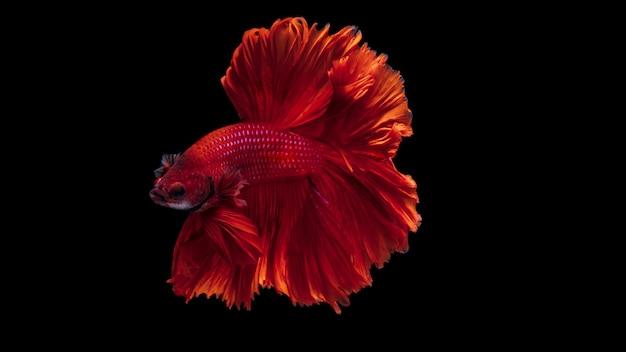 Pesce combattente siamese rosso betta splendens, sul nero isolato, betta fancy koi halfmoon plakat