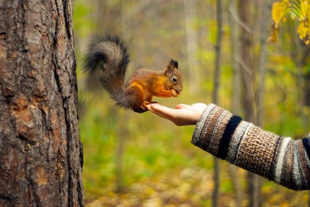 Scoiattolo rosso nel parco autunnale che mangia noci con la mano di una ragazza, sfondo sfocato