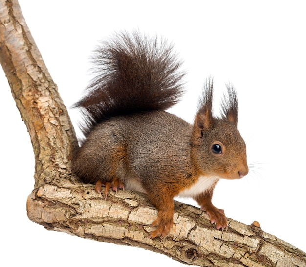 Scoiattolo rosso o scoiattolo rosso euroasiatico, sciurus vulgaris, in piedi su un ramo, isolato su bianco