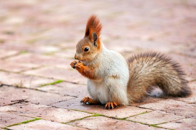 Lo scoiattolo rosso si siede su una piastrella con una noce tra le zampe