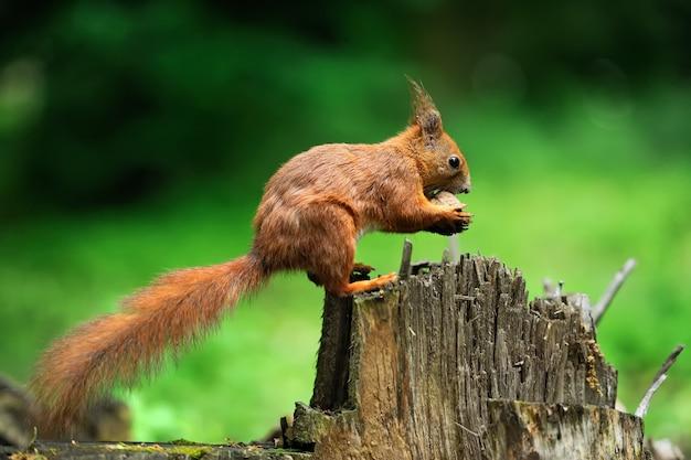 Scoiattolo rosso su un ceppo di albero con noci