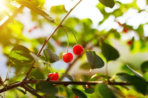 Ciliegie dolci rosse nel giardino estivo