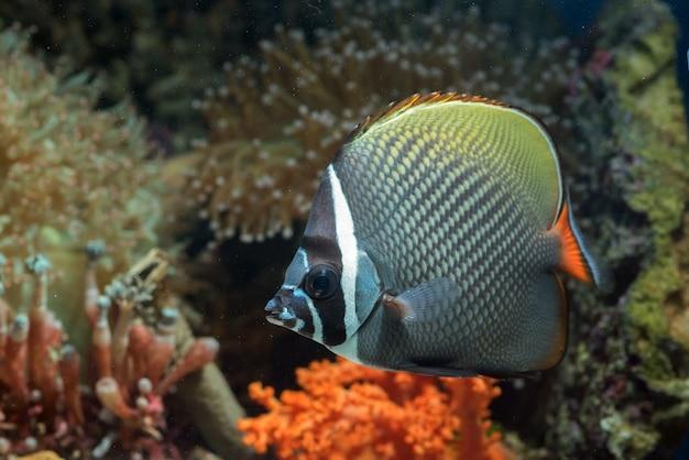 Pesce farfalla dalla coda rossa che galleggia nell'acqua, vita marina in una barriera corallina poco profonda