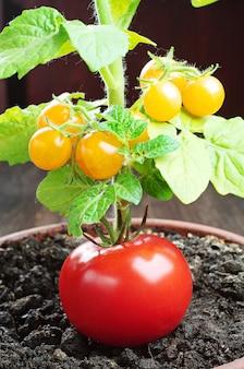 Pomodoro rosso e pomodorini gialli in un vaso di fiori