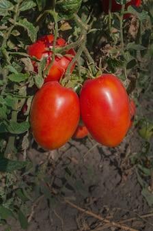 Prugna di pomodori rossi che cresce in una serra pronta per la raccolta. piante di pomodori freschi