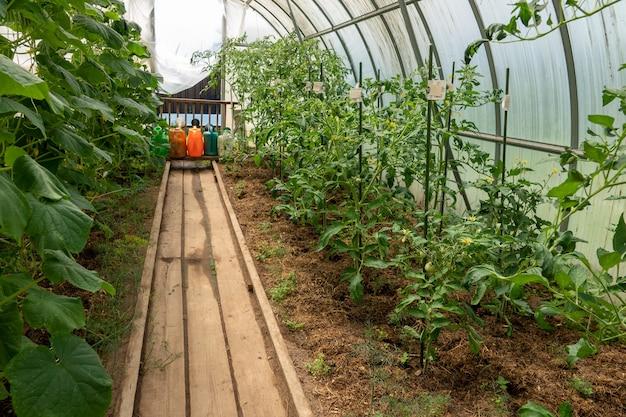 Pomodori rossi nel giardino estivo. i frutti rossi maturi del pomodoro crescono nel campo, fine su.