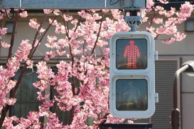 Semaforo rosso con alberi di fiori di fioritura giapponese piena di fiori di ciliegio sakura