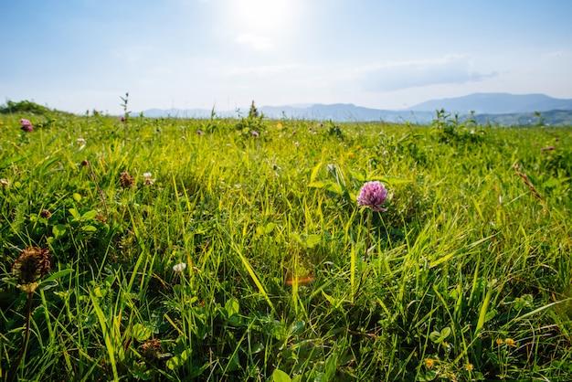 Trifolium pratense rosso