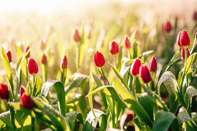 Il tulipano rosso fiorisce nel giardino con spruzzi d'acqua e luce solare. sfondo naturale.