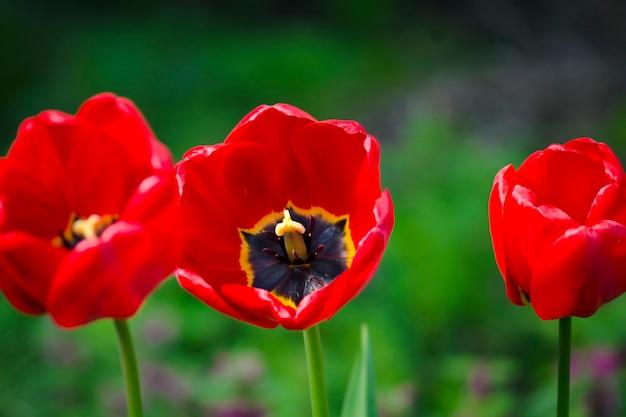 Primo piano rosso dei tulipani. fiori primaverili in giardino