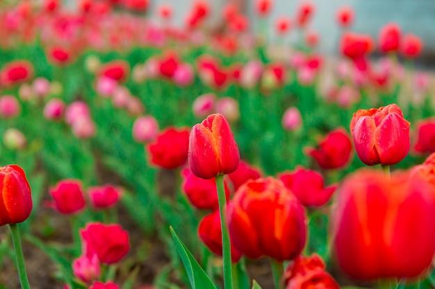 Tulipani rossi con le gocce di rugiada al mattino presto. gocce d'acqua su tulipani rossi. bellissimi fiori
