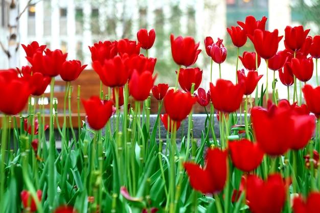 Tulipani rossi
