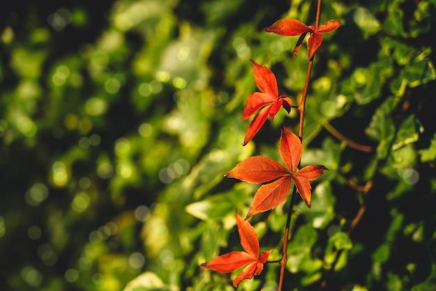 Foglie di vite rossa hanginh sul muro, germogli appesi di una pianta rampicante autunnale con foglie verdi sfocate. stagione autunnale